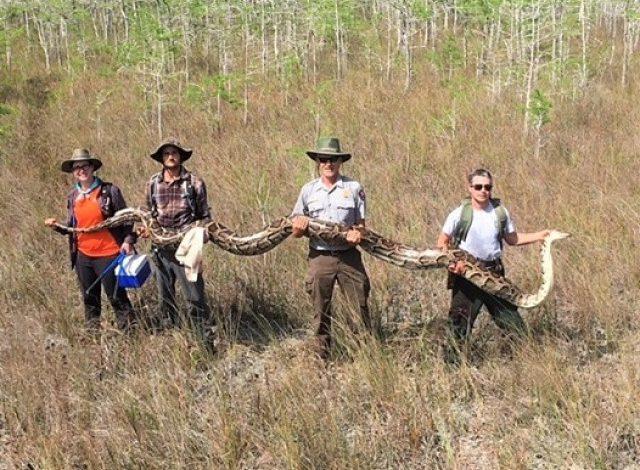 ¡Atroz! Capturaron mega pitón al sur de Florida