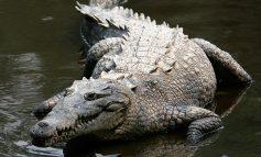 Cerca de 400 cocodrilos viven en una central nuclear al sur de Miami