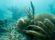 Misteriosa enfermedad pone al límite arrecifes de coral en Florida