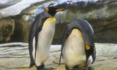 Pareja gay de pingüinos adoptan un huevo en el Zoo de Berlín