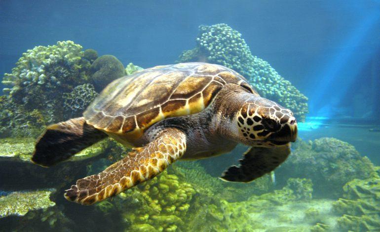 Calentamiento global afecta al género de las tortugas en Florida