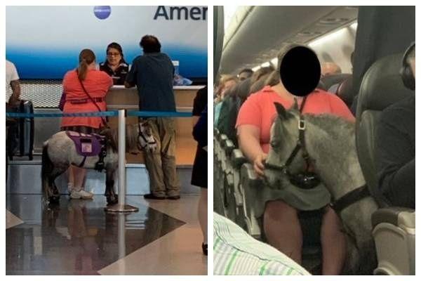 ¡Insólito! Flirty, el caballo 'mini' que viaja en la cabina del avión