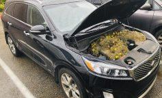 Ardillas esconden más de 200 nueces debajo de la capota de un carro en EEUU