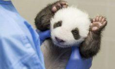 Pandas gemelos abren por primera vez los ojos al mundo en zoo de Berlín