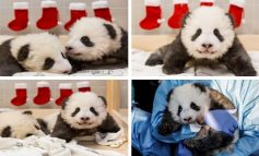Zoo de Berlín revela sexo y nombres de sus 2 osos pandas nacidos