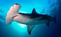 Descubren tiburón martillo casi del tamaño de un barco