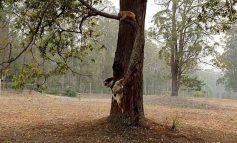 Una perra ayuda a rescatar koalas entre los incendios en Australia