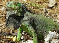 """Alerta de """"caída de iguanas"""" de los árboles en Miami por bajas temperatura"""