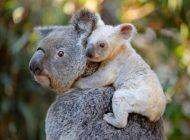 Los incendios forestales dejan más cerca de la extinción a koalas en Australia