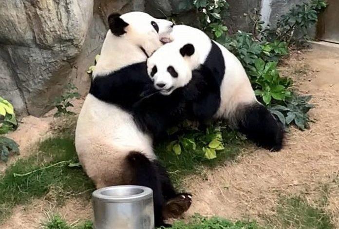 Dos pandas en Hong Kong se aparearon en medio del encierro por la pandemia