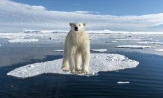 Se estima que para 2100 los osos polares estarán extintos