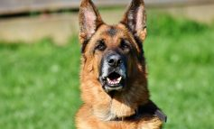 Murió Buddy, el primer perro con coronavirus en Estados Unidos