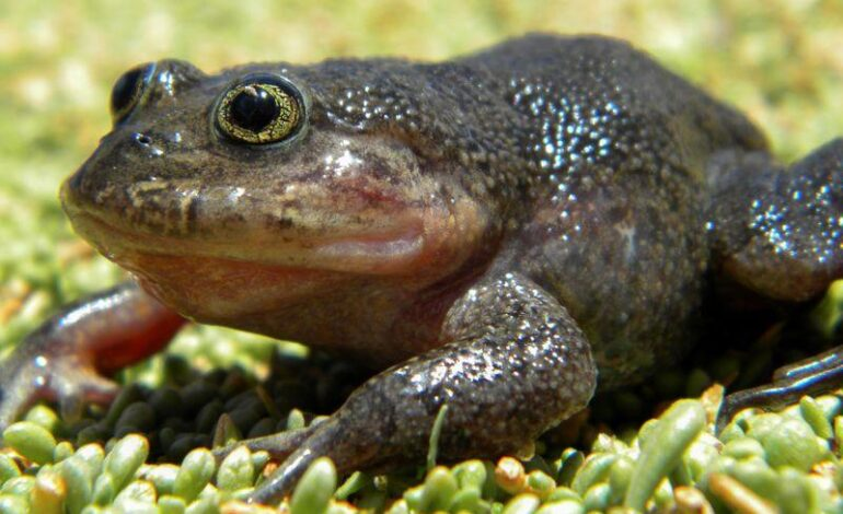 Investigadores detectan en Chile una rana desaparecida por décadas