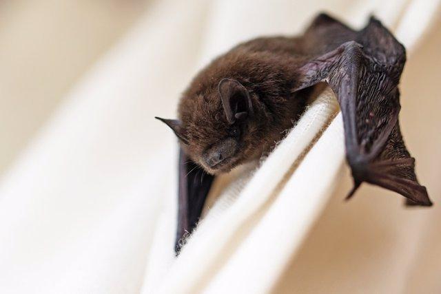 Descubiertos los primeros parientes del virus de la rubeola en murciélagos de Uganda y ratones de Alemania